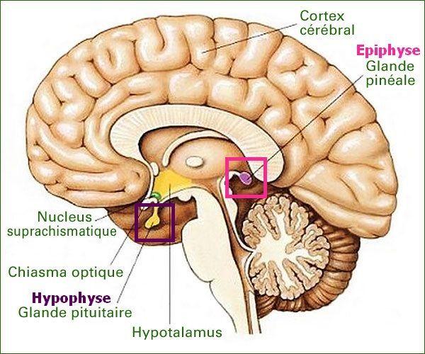 schéma de la glande pinéale